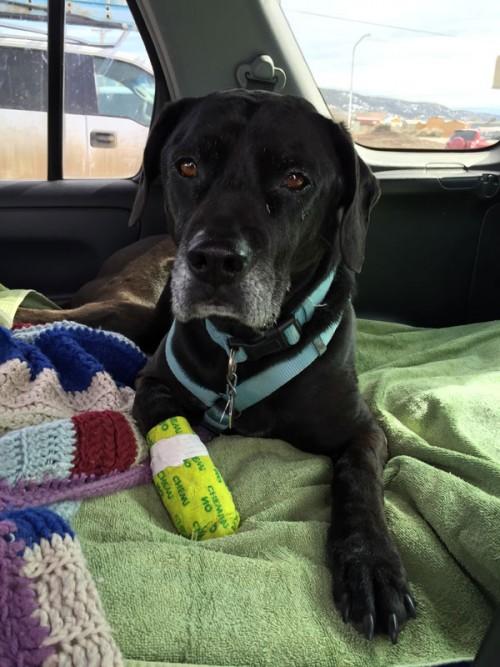 wilson pupster apres paw surgery