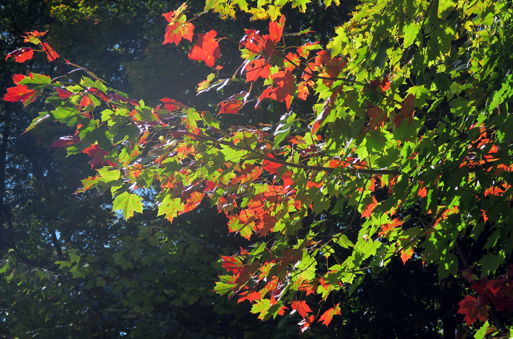 autumn comes alive among Vermont's maples - photo by artist Dawn 'TaosDawn' Chandler