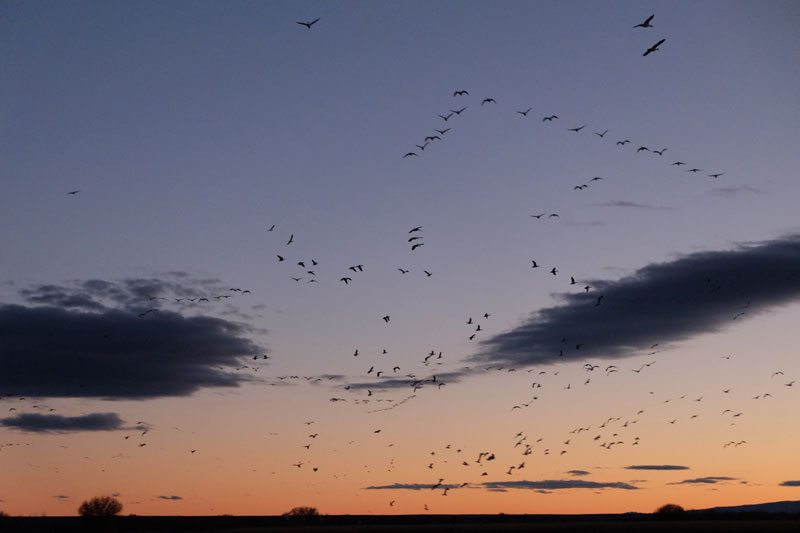 finding grounding in snow geese and sandhill cranes flying north to their evening roost, bosque del apache, photo by dawn chandler