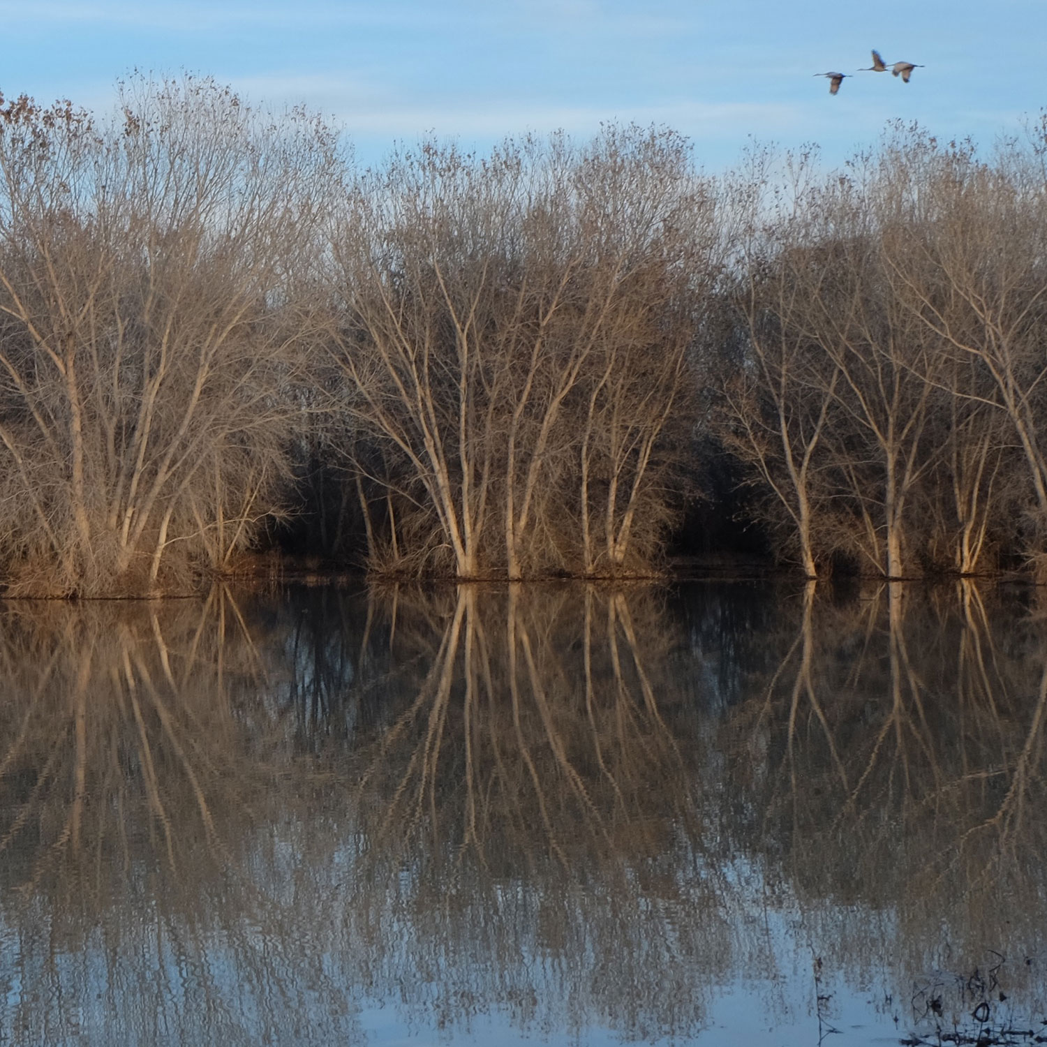 A trio of cranes in flight over a trio of marsh trees, bosque del apache, photo by dawn chandler