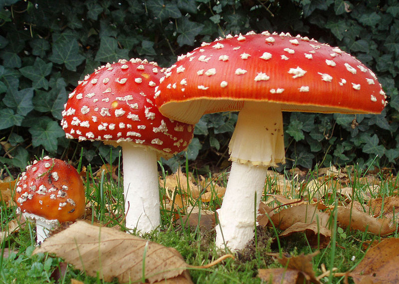 Amanita muscaria, also known as fly egaric or fly amanita ~ photo by Onderwijsgek at nl.wikipedia