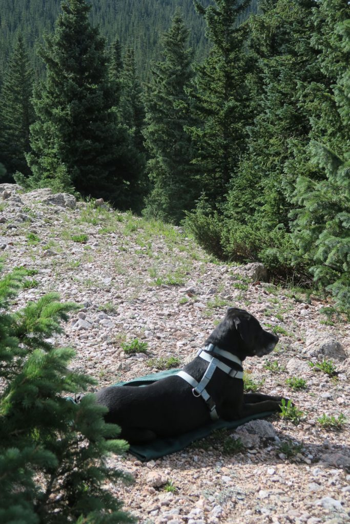 Dawn Chandler's pup watches while Dawn creates a plein air oil painting of the forest above Santa Fe, New Mexico