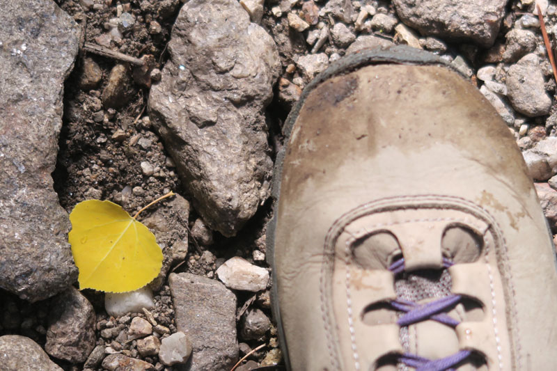 DawnChandler_first-gold-aspen-leaf-2016_800px