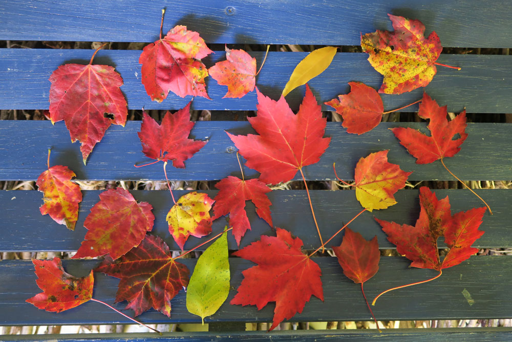 Stowe Vermont autumn leaves collected by artist Dawn Chandler
