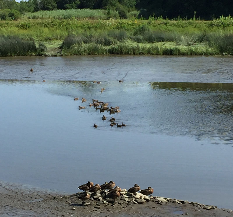 ducks congregating in along the Exeter River, Exeter, New Hampshire. Photo by Santa Fe artist Dawn Chandler