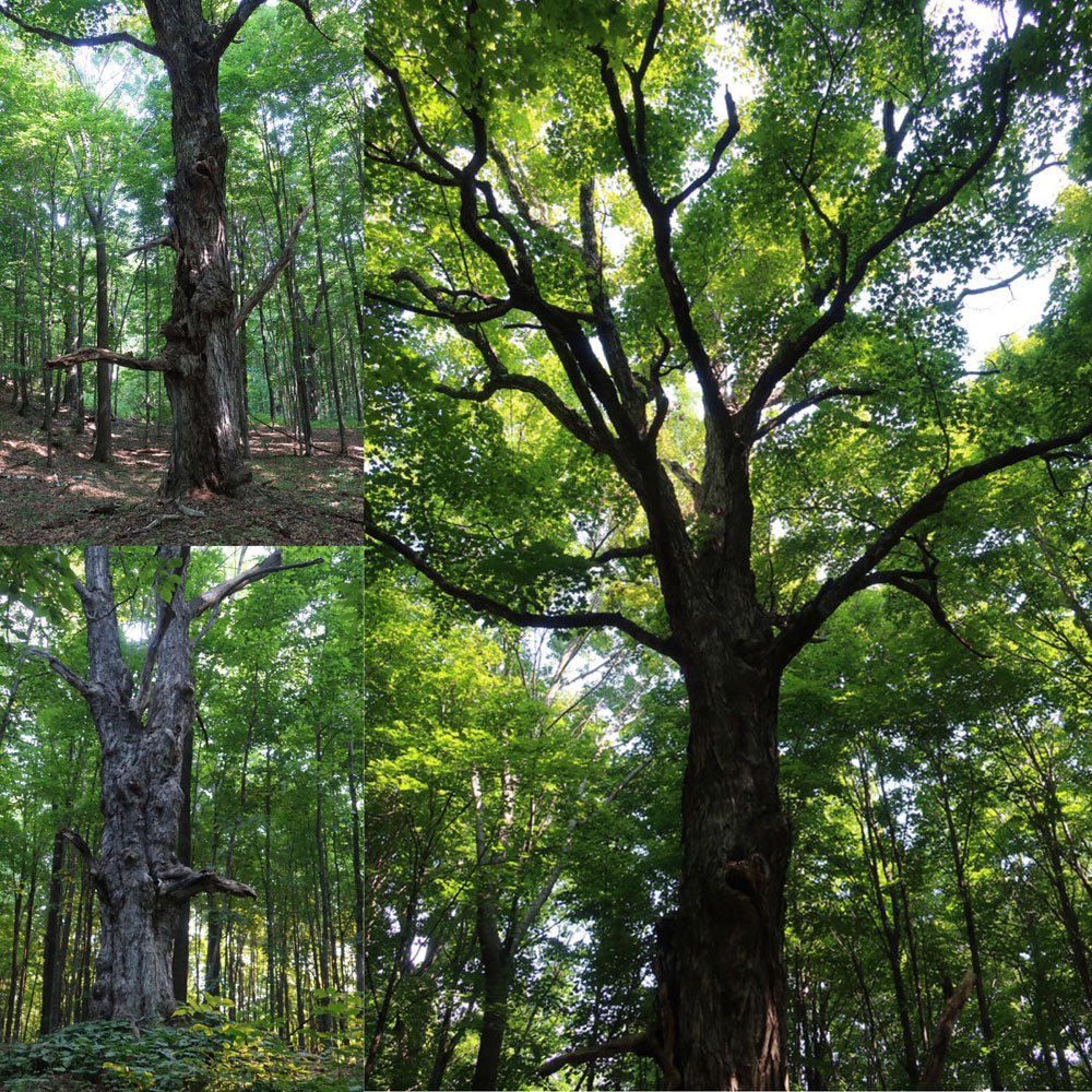 Along the Vermont Appalachian Trail - wise old trees - photo by TaosDawn - Santa Fe artist and backpacker Dawn Chandler