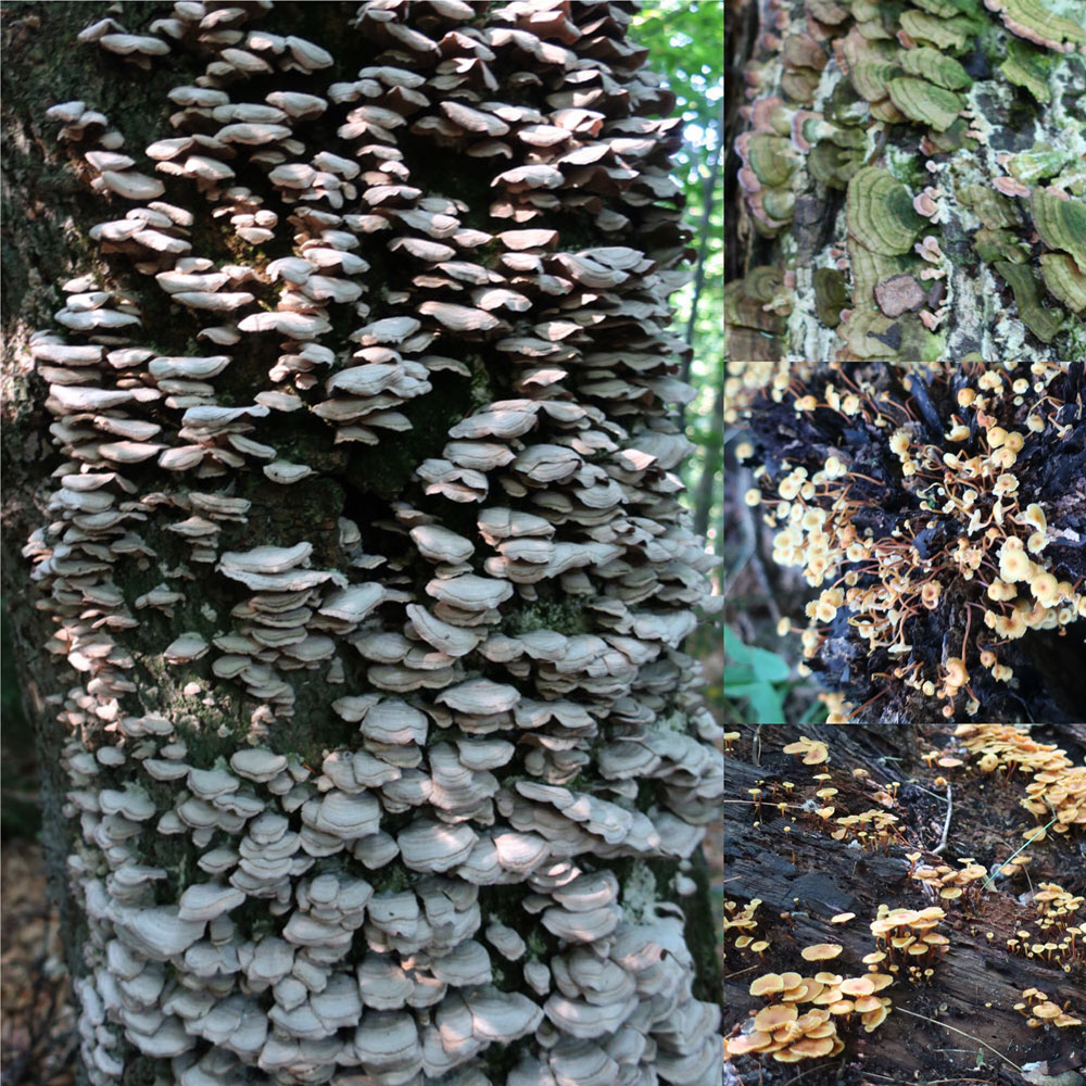 Along the Vermont Appalachian Trail - tiny beautiful things - yet more fungi - photo by TaosDawn - Santa Fe artist and backpacker Dawn Chandler