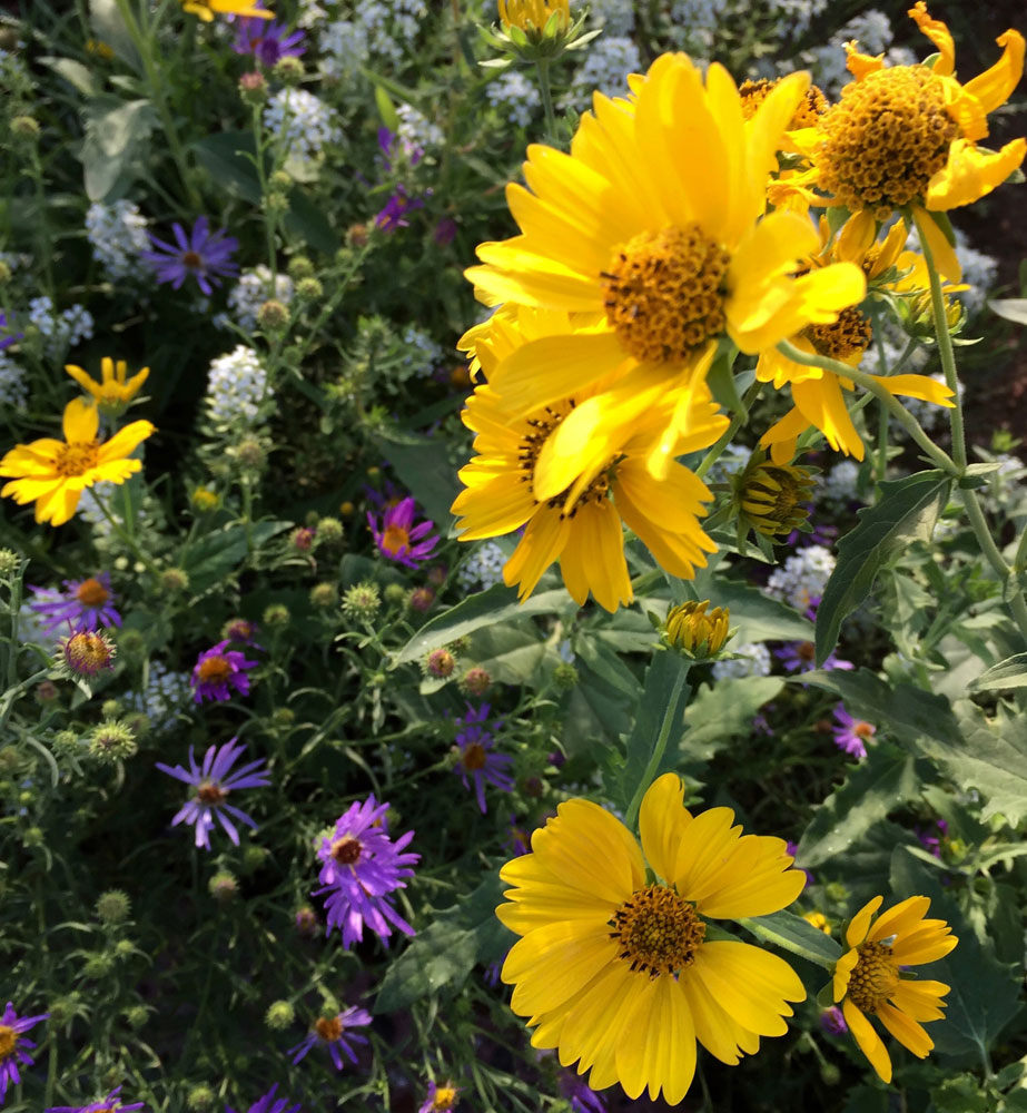 new mexico gold: golden crownbeard and purple aster flowers in santa fe, new mexico photographed by new mexico artist dawn chandler