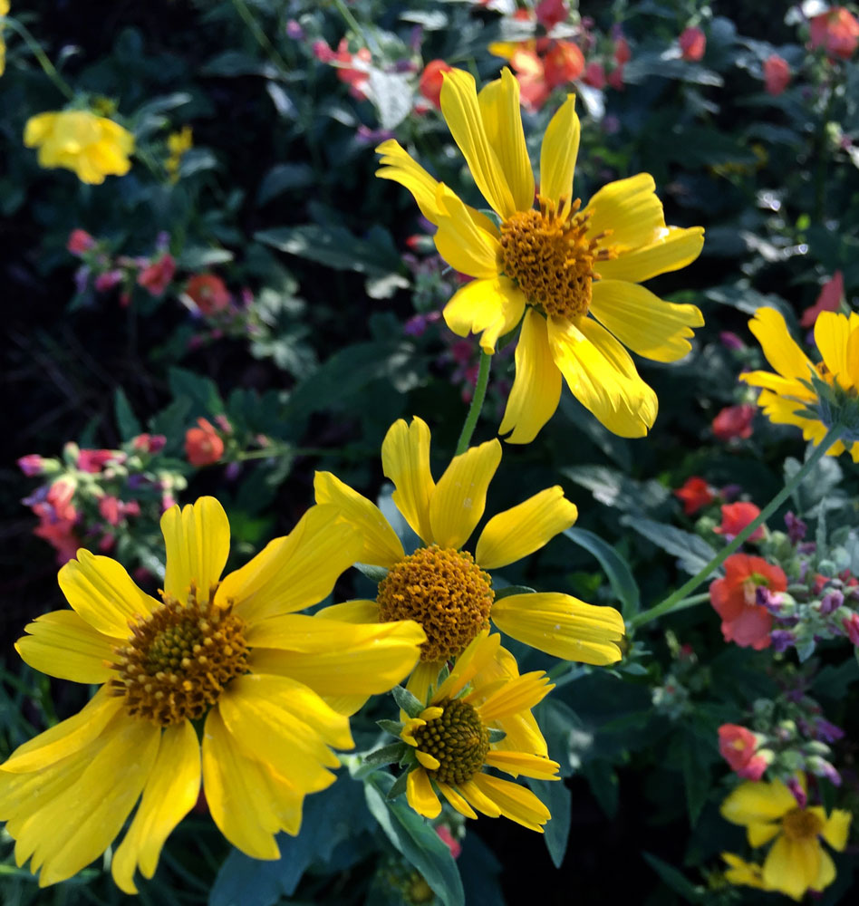 new mexico gold: yellow american dogweed flowers, in santa fe, new mexico photographed by new mexico artist dawn chandler