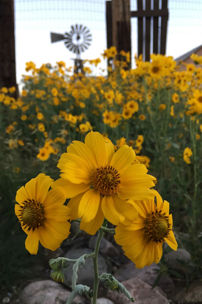 New Mexico gold: cowpen daisies with a windmill in the background, in santa fe, new mexico photographed by new mexico artist dawn chandler