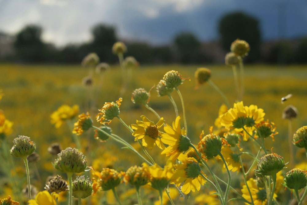 new mexico gold: wild sunflowers grow in frenchy's field, in santa fe, new mexico photographed by new mexico artist dawn chandler