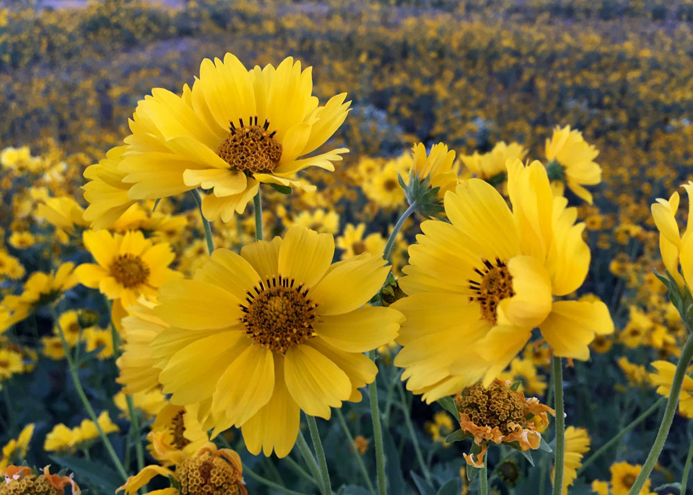 new mexico gold: wild sunflowers in santa fe, new mexico photographed by new mexico artist dawn chandler
