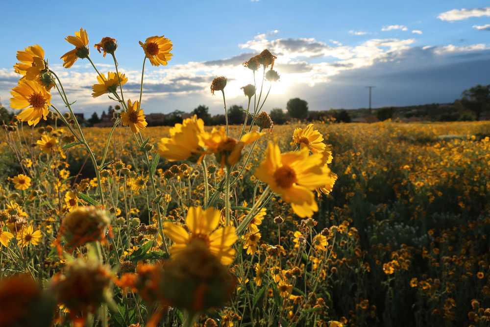 new mexico gold: cowpen daisies catching the last of the day's sun, in santa fe, new mexico photographed by new mexico artist dawn chandler