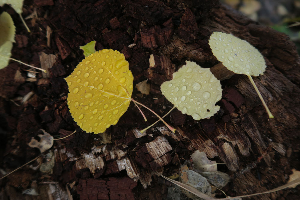 new mexico gold: ain drops and aspen leaves in the santa fe national forest, photo by new mexico artist dawn chandler