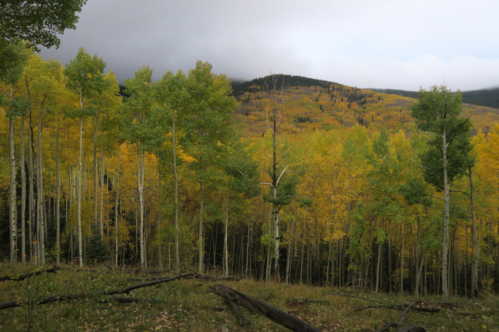 new mexico gold: aspens turning gold in the santa fe national forest, in santa fe, new mexico photographed by new mexico artist dawn chandler