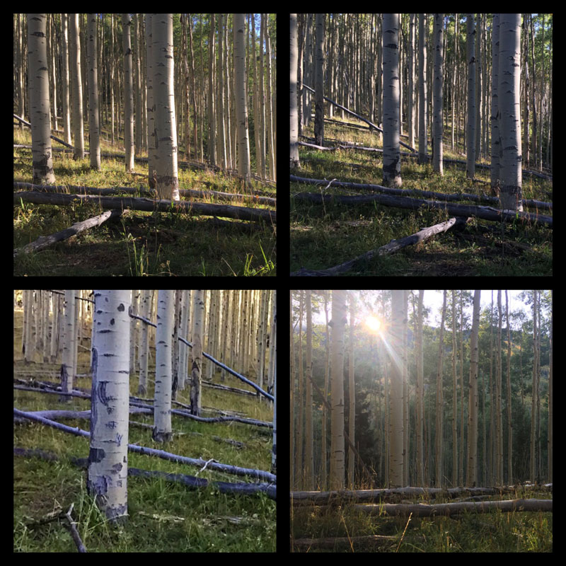 grid of four photos of a New Mexico aspen forest in September, by artist Dawn Chandler