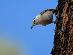 white-breasted nuthatches are abundant in December and year-round at Bandelier National Monument. Photo by Sally King.