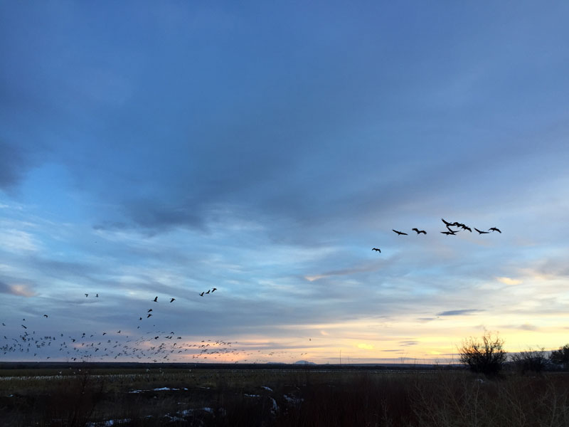 snowgeese and sandhill cranes at the Bosque del Apache at sunset, january 5th, 2019, photo by Dawn Chandler