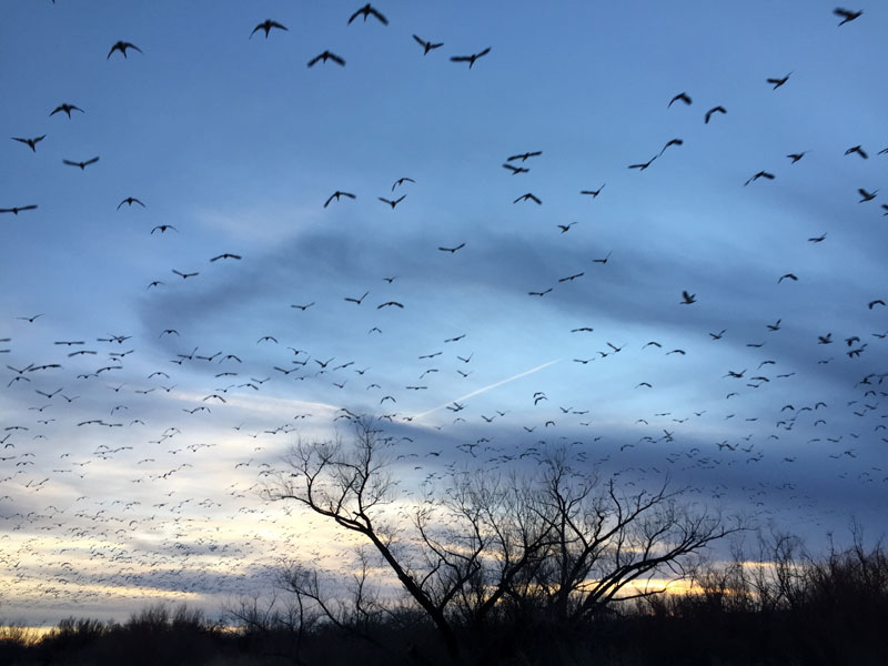 Snowgeese rising en masse at the Bosque del Apache sunset 5 January 2019, photo by artist Dawn Chandler