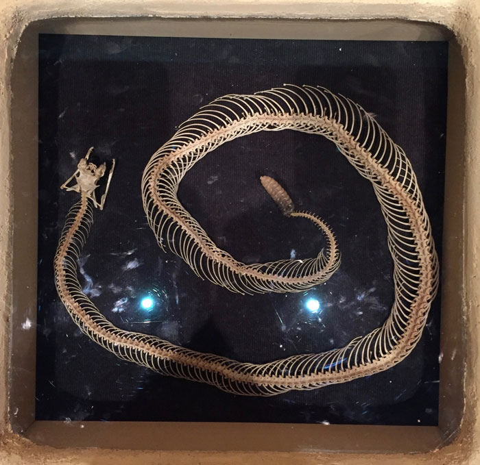 Rattlesnake skeleton displayed in banco at Georgia O'Keeffe Museum