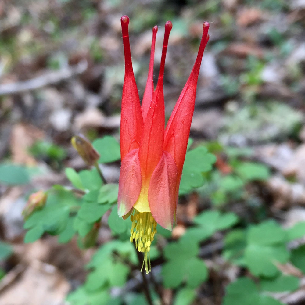 Red columbine. Photo by artist Dawn Chandler.
