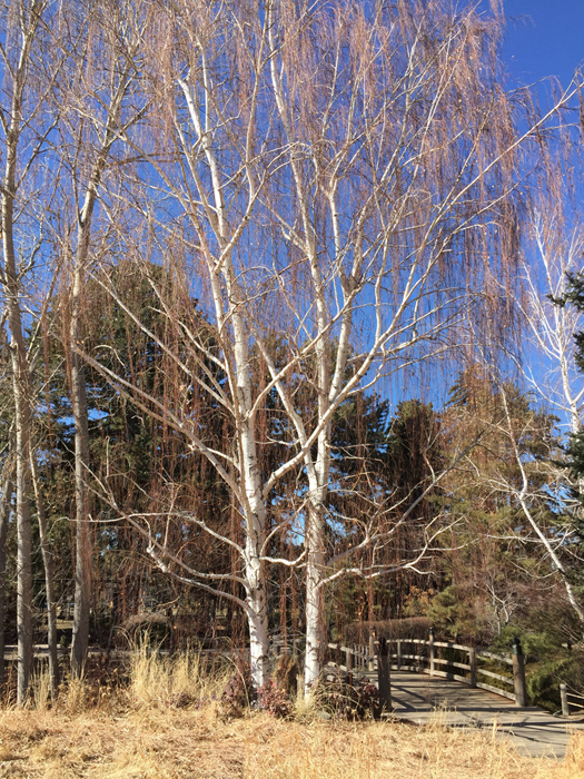 January birch tree, Denver Botanic Gardens. Photo by artist Dawn Chandler.