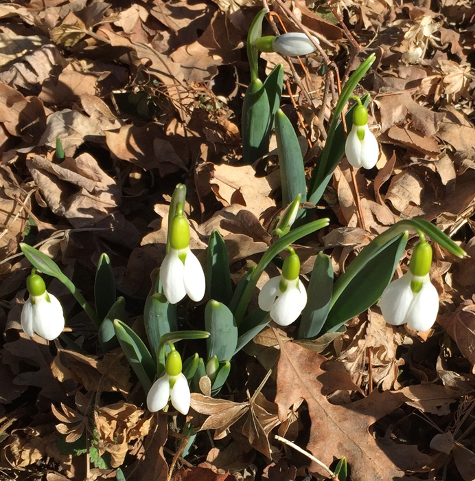Snowdrop blossoms, Denver Botanic Gardens. Photo by artist Dawn Chandler.