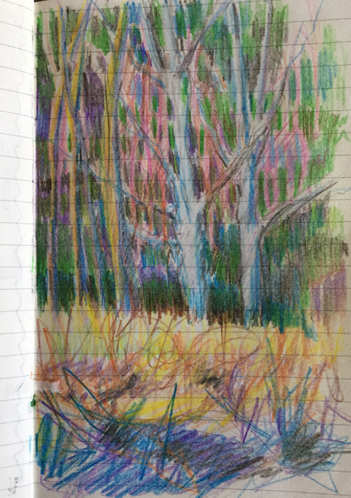 Colored pencil sketch by artist Dawn Chandler of a January birch, Denver Botanic Garden.