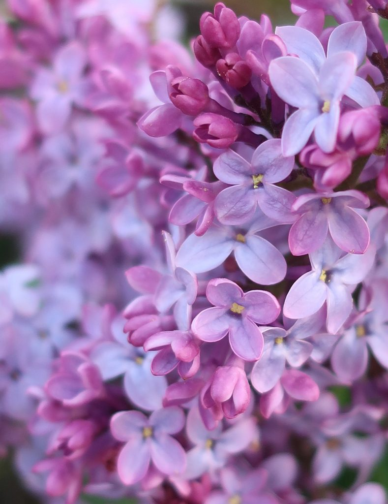 Close up of lilac blooms in Santa Fe. Photo by New Mexico artist Dawn Chandler.