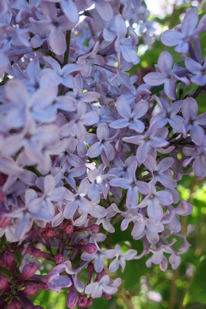 Soft purple blooms of lilac. Photo by New Mexico artist Dawn Chandler.