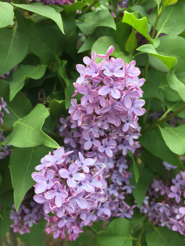 Cluster of lilac blooms. Photo by New Mexico artist Dawn Chandler.