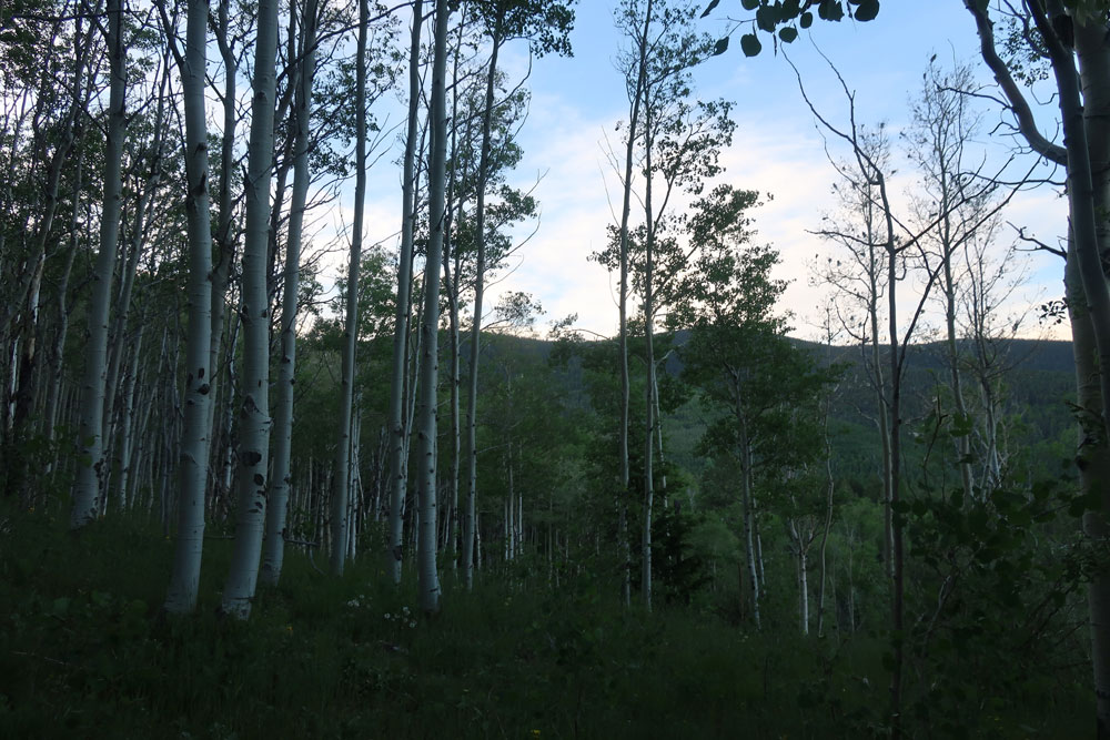 Break of day in an aspen grove of the Santa Fe National forest. Photo by artist Dawn Chandler.