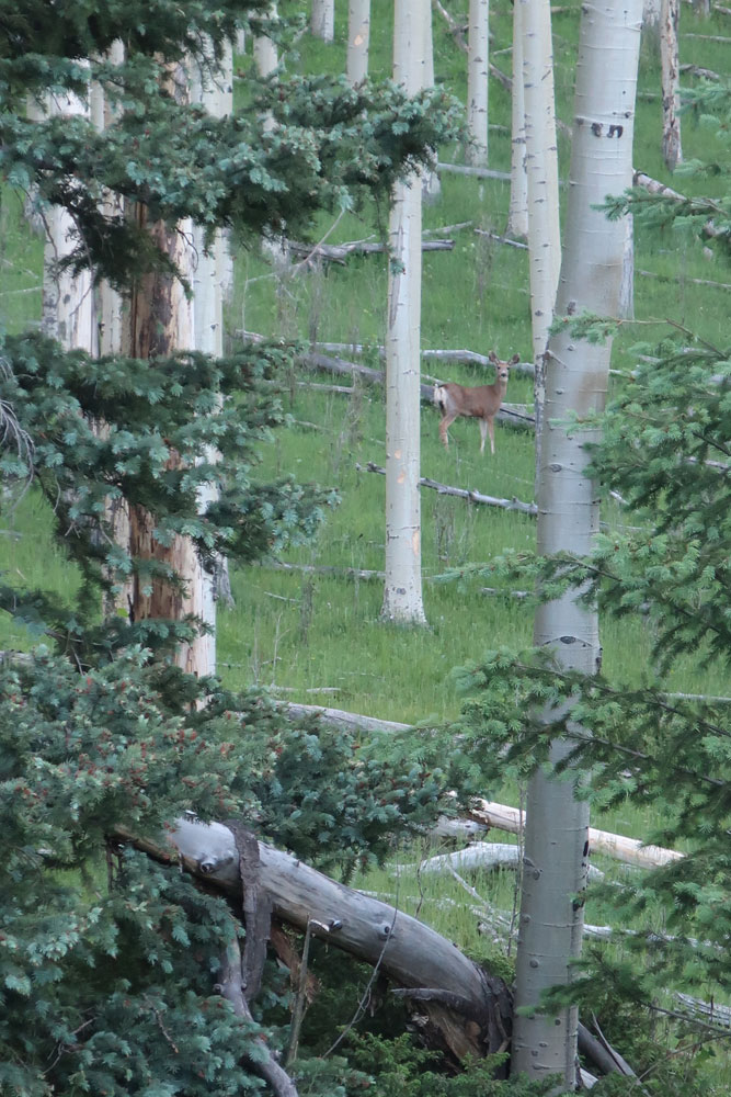 A doe in the distance among the aspen trees. Photo by Dawn Chandler.