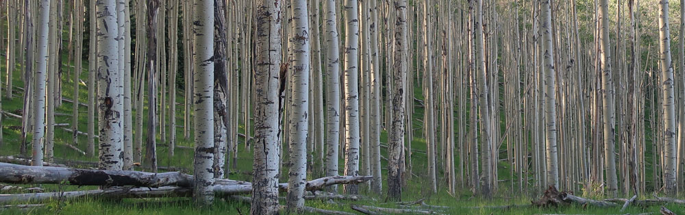 Aspen trees - columns of light and shadow. Photo by Dawn Chandler.