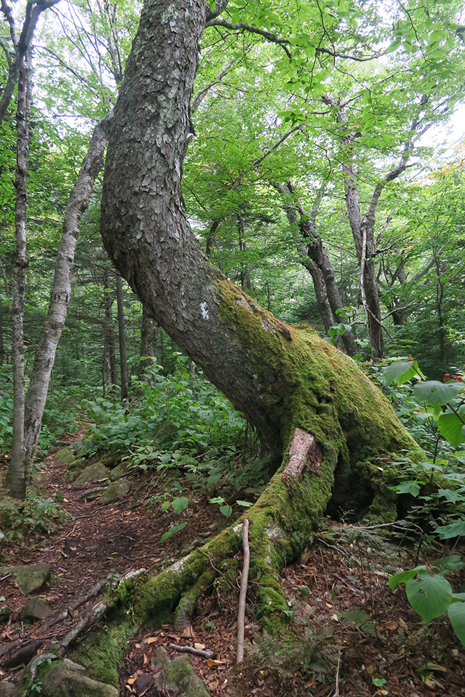 A wildly curved tree trunk along the Long Trail in southern Vermont. Photo by artist and thru-hiker Dawn TaosDawn Chandler.