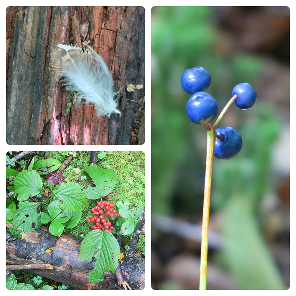 Vermont flora on the Long Trail. Photos by artist and thru-hiker Dawn TaosDawn Chandler.