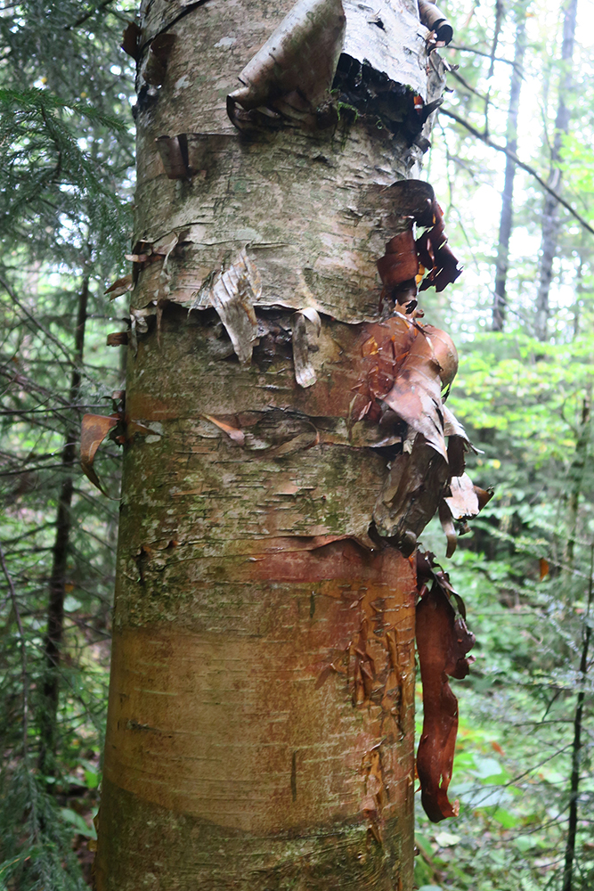 Curls of birch bark along the Long Trail of Vermont. Photo by artist and thru-hiker Dawn TaosDawn Chandler